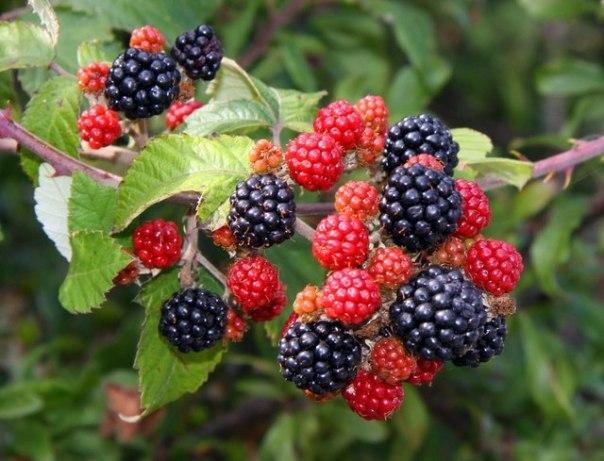 Blackberries_by_Hanney_Road_-_geograph.org.uk_-_1469378