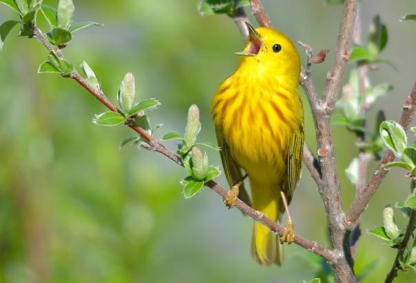 YellowWarbler_BirdShare8040381377_KeithWilliams.jpg